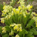 Photo of Користь перших весняних лікарських рослин