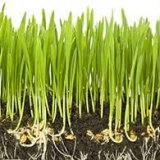 Photo of Користь паростків пшениці для здоров'я