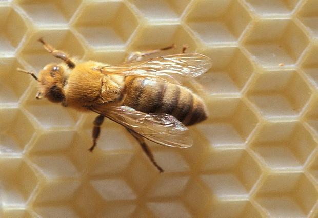 Photo of Бджоли — помічники в боротьбі з раком