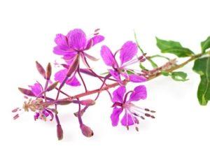 Photo of Смачний Іван-чай: підвищує або знижує рослина тиск?