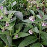 Photo of Корисні властивості рослини живокіст