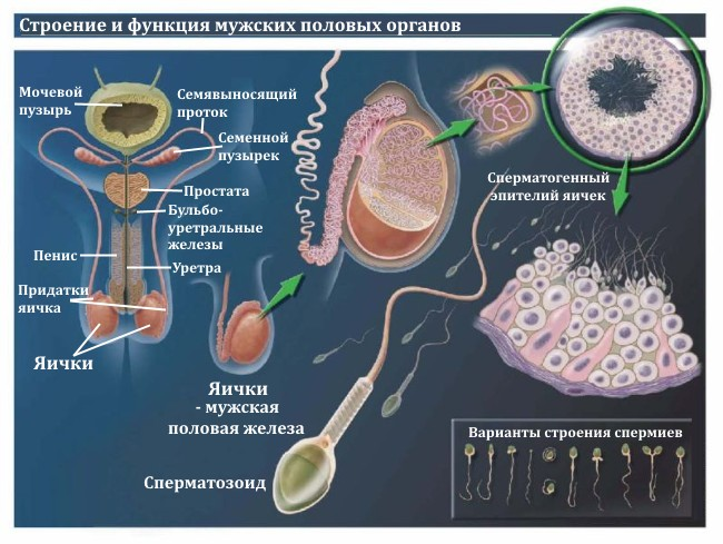 prichini-defekta-golovki-u-spermatozoida