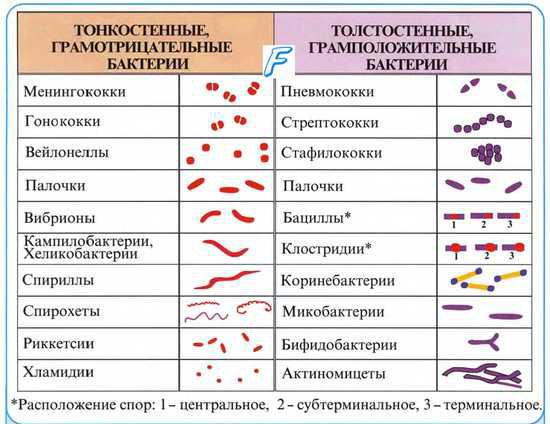 основные формы бактерий
