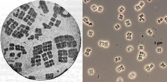 бактерии сарцины