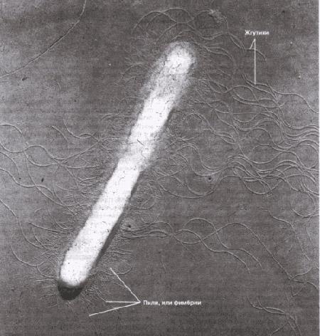 бактериальная клетка палочковидной формы