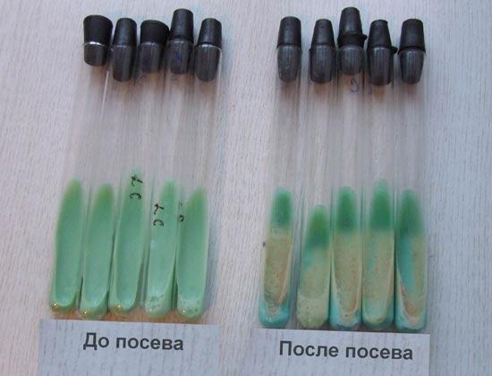 рост колоний микобактерий