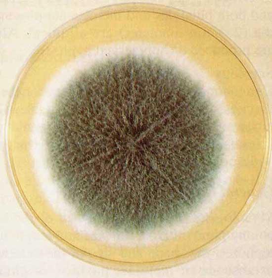 гриб рода аспергилл