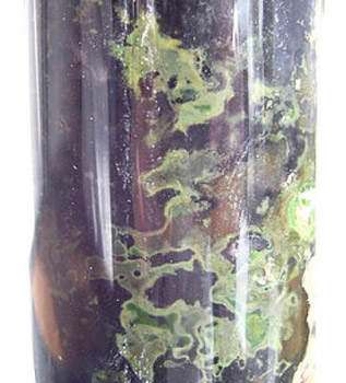 Зелёные серобактерии в колонне Виноградского