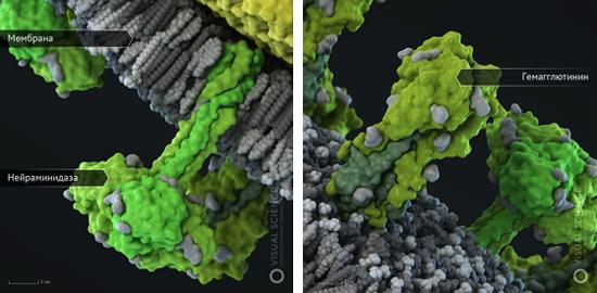 вирус гриппа (3D-модель)