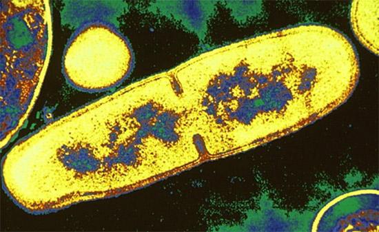 бактериальная клетка: деление