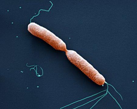момент деления палочковидной бактерии