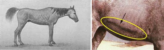 Столбняк у лошадей