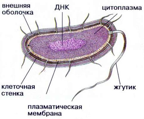 Схема прокариотической клетки.